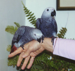 African Grey Parrots at 14 weeks