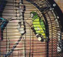 Jardine Parrot bred at Parrotcare